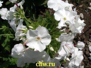 Флокс метельчатый (phlox paniculata) синюховые (polemoniaceae) schneerausch