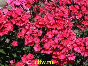 Флокс метельчатый (phlox paniculata) синюховые (polemoniaceae) flaamenkugel