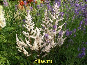 Астильба японская (astilbe japonica) камнеломковые (saxifragaceae) bronzelaub