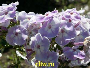 Флокс метельчатый (phlox paniculata) синюховые (polemoniaceae) liubasha