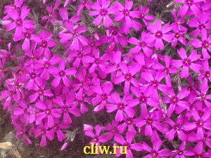Флокс шиловидный (phlox subulata) синюховые (polemoniaceae) samson