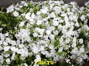 Флокс шиловидный (phlox subulata) синюховые (polemoniaceae) maischnee