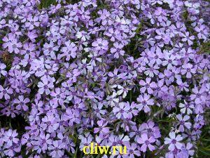 Флокс шиловидный (phlox subulata) синюховые (polemoniaceae) silver blase