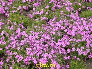 Флокс шиловидный (phlox subulata) синюховые (polemoniaceae) zosia