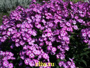 Флокс метельчатый (phlox paniculata) синюховые (polemoniaceae) uspech