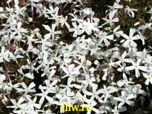 Флокс шиловидный (phlox subulata) синюховые (polemoniaceae) white delight