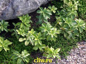 Пахизандра верхушечная (pachysandra terminalis) самшитовые (buxaceae)