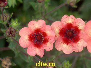 Лапчатка непальская (potentilla nepalensis) розоцветные (rosaceae) floris
