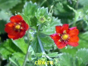 Лапчатка непальская (potentilla nepalensis) розоцветные (rosaceae) gibson scarlet
