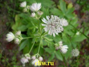 Астранция крупная (astrantia major) зонтичные (apiaceae)