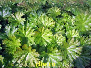 Дармера щитовидная (darmera peltata) камнеломковые (saxifragaceae)