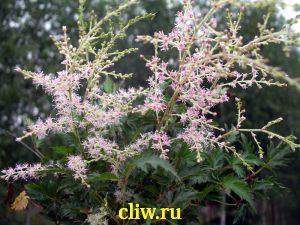 Астильба голая (astilbe glaberrima) камнеломковые (saxifragaceae) sprite