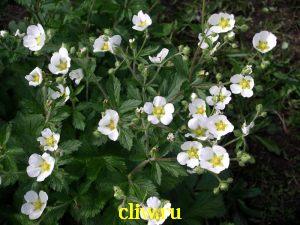 Лапчатка скальная (potentilla rupestris) розоцветные (rosaceae)
