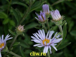 Астра альпийская (aster alpinus) астровые (asteraceae)