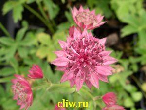Астранция крупная (astrantia major) зонтичные (apiaceae) rubra