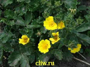 Лапчатка крупноцветковая (potentilla megalantha) розоцветные (rosaceae)