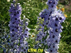 Дельфиниум гибридный (delphinium hybridum) лютиковые (ranunculaceae)