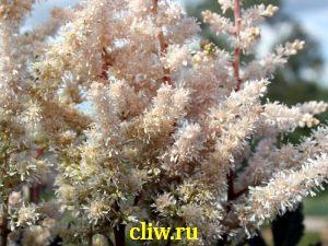 Астильба гибридная (astilbe hybrida) камнеломковые (saxifragaceae) avalanche