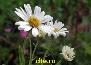 Астра альпийская (aster alpinus) астровые (asteraceae) alba