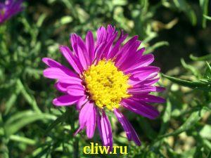 Астра кустовая (aster dumosus) астровые (asteraceae) mariore