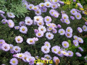 Астра кустовая (aster dumosus) астровые (asteraceae) blue bouquet