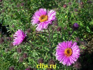 Астра новоанглийская (aster novi-angliae) астровые (asteraceae) alma potschke