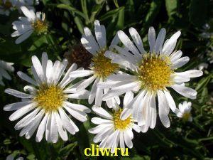 Астра кустовая (aster dumosus) астровые (asteraceae) weiss