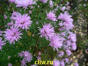 Астра новобельгийская (aster novi-belgii) астровые (asteraceae) mabel revers