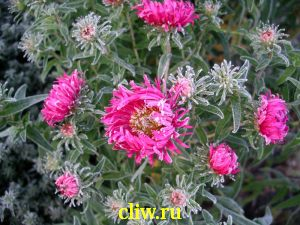 Астра новоанглийская (aster novi-angliae) астровые (asteraceae) barr's pink