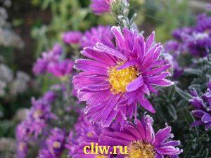 Астра новобельгийская (aster novi-belgii) астровые (asteraceae) royal blue