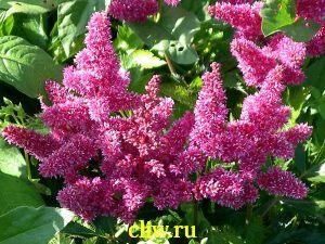Астильба японская (astilbe japonica) камнеломковые (saxifragaceae) bremen