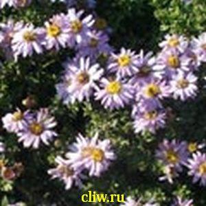 Астра кустовая (aster dumosus) астровые (asteraceae) prof. anton kippenberg