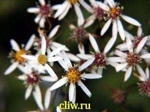 Астра растопыренная (aster divaricatus) астровые (asteraceae)