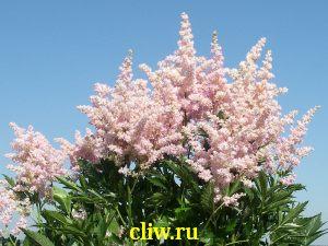 Астильба гибридная (astilbe hybrida) камнеломковые (saxifragaceae) betsy cuperus
