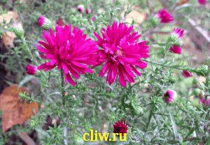 Астра новобельгийская (aster novi-belgii) астровые (asteraceae) winston churchill