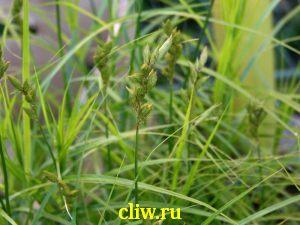 Осока пальмолистная (carex muskingumensis) осоковые (cyperaceae)
