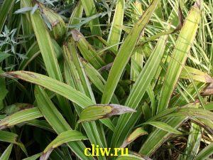 Осока ржавопятнистая (carex siderosticta) осоковые (cyperaceae) variegata