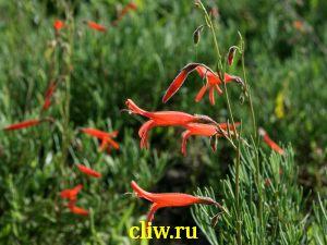 Пенстемон игольчатолистный (penstemon pinifolius) норичниковые (scrophulariaceae)