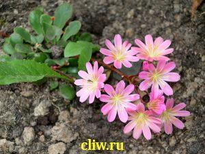 Левизия котиледон (lewisia cotyledon) портулаковые (portulacaceae)