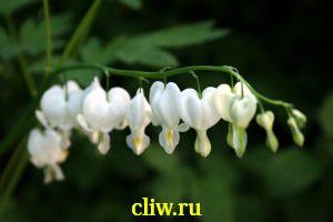 Дицентра великолепная (dicentra ) дымнянковые (fumariaceae) alba
