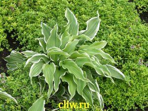 Хоста волнистая (hosta undulata) хостовые (hostaceae) albomarginata