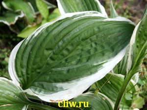 Хоста белоокаймленная (hosta albomarginata) хостовые (hostaceae) thomas hogg