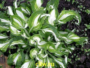 Хоста волнистая (hosta undulata) хостовые (hostaceae) mediovariegata