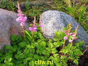 Астильба китайская (astilbe chinensis) камнеломковые (saxifragaceae) pumila