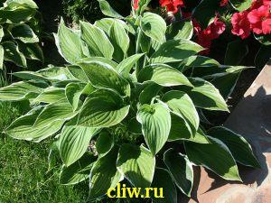 Хоста гибридная (hosta hybrida) хостовые (hostaceae) francee
