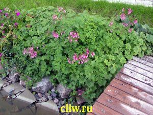 Дицентра исключительная (dicentra eximia) дымнянковые (fumariaceae)