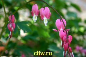 Дицентра великолепная (dicentra spectabilis) дымянковые (fumariaceae)