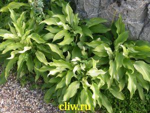 Хоста волнистая (hosta undulata) хостовые (hostaceae) univittata