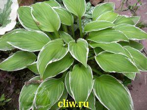 Хоста волнистая (hosta undulata) хостовые (hostaceae) albovariegata