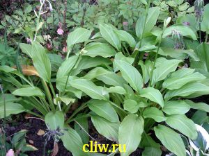 Хоста гибридная (hosta hybrida) хостовые (hostaceae) honey bells